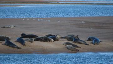 Seals at Embo